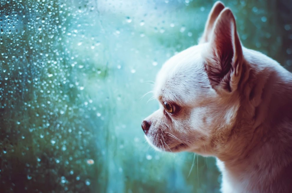 Chihuahua with separation anxiety - Puppy Separation Anxiety: How to Keep Your Dog Calm When You Leave