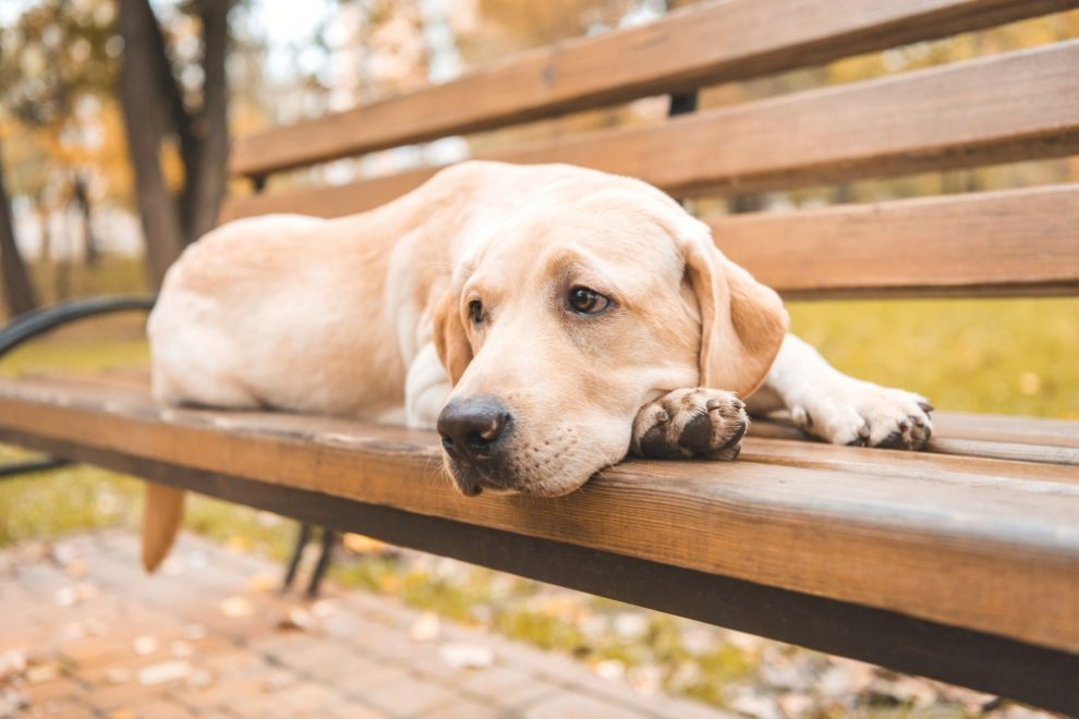 Sad Retriever on Bench - Why Is My Dog Whining? Six Reasons Dogs Howl, Whine and Cry