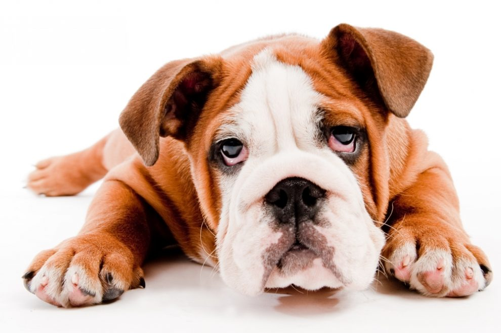 Sad Puppy Dog - Can Dogs Be Depressed? 5 Warning Signs