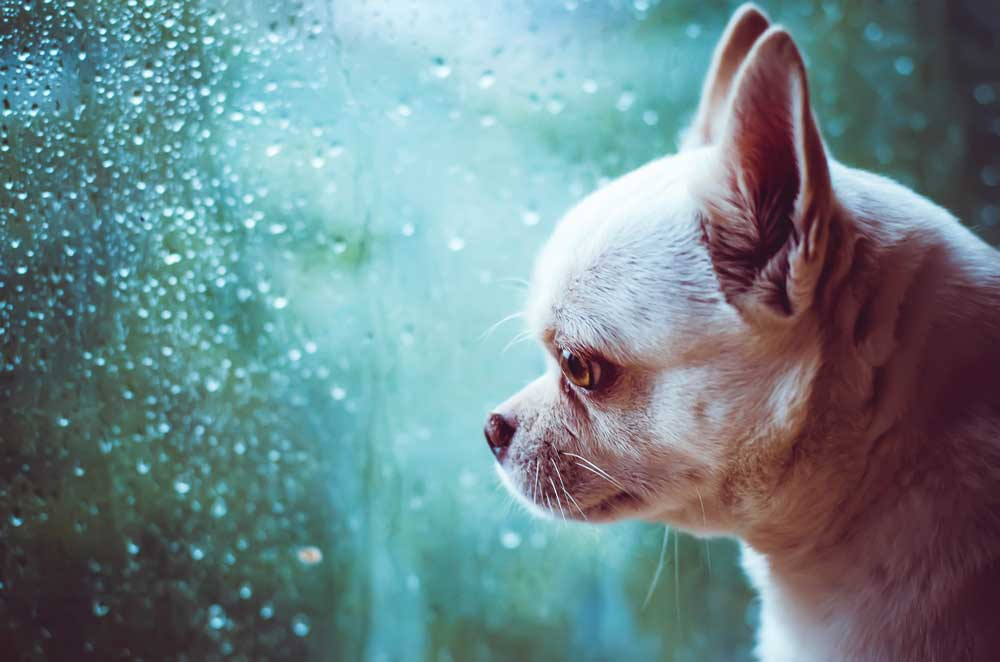 Sad chihuahua looking out a window and into the rain