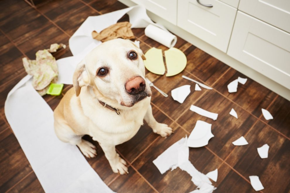 Dog very naughty - Dog Behavior Problems: Types, Causes, Diagnosis, and Treatments